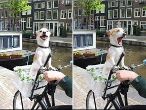 DutchDog